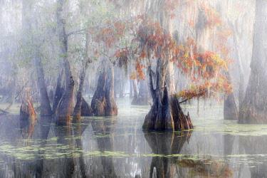 CLKMG76175 Taxodium distichum, Bald Cypress, Lake Martin, Atchafalaya Basin, Breaux Bridge, Louisiana, United States