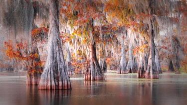 CLKMG76180 Taxodium distichum, Bald Cypress, Lake Martin, Atchafalaya Basin, Breaux Bridge, Louisiana, United States