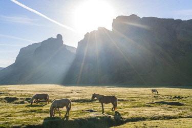 IC02201 Icelandic horses at sunrise, Southern Iceland, Iceland