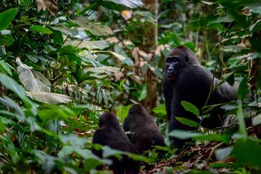 AF12RHA0005 Western lowland gorilla (Gorilla gorilla) silverback and juveniles in Marantaceae undergrowth. Odzala-Kokoua National Park. Cuvette-Ouest Region. Republic of the Congo