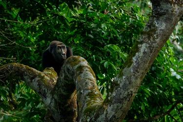 AF12RHA0019 Western lowland gorilla (Gorilla gorilla) in Marantaceae forest. Odzala-Kokoua National Park. Cuvette-Ouest Region. Republic of the Congo