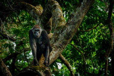 AF12RHA0021 Western lowland gorilla (Gorilla gorilla) in Marantaceae forest. Odzala-Kokoua National Park. Cuvette-Ouest Region. Republic of the Congo