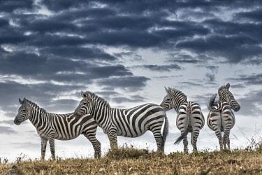 AF21BJY0010 Africa, Kenya, Masai Mara National Reserve. Group of zebras on ridge