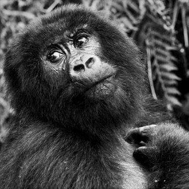 AF35KAS0003 Virunga Mountains, Rwanda, Africa. Mountain Gorilla.