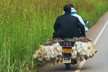 AF48KSU0001 A motorcycle carrying two people and chicken, Entebbe, Uganda
