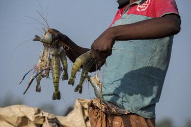 AS03CMI0034 Bangladesh, Sundarbans National Park. Waterways between Harbaria and Charaputia. Typical prawn (chinar) fisherman holding up his catch.