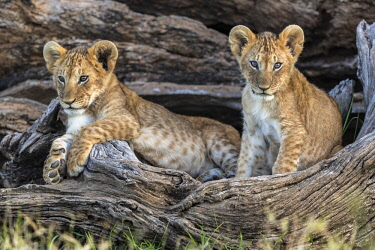 KEN10663AW Kenya, Maasai Mara National Reserve, Maasailand, Narok County, Musiara Marsh.  Two four-month-old cubs playing and resting at their den in a fallen fig tree early in the morning in Musiara Marsh.