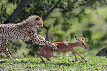 KEN10678AW Kenya, Narok County, Maasai Mara National Reserve, Musiara Marsh. A cheetah cub grabs a young impala that its mother has caught and released to it to practice its hunting skills.