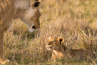 KEN10687AW Kenya, Maasai Mara National Reserve, Maasailand, Narok County, Musiara Marsh. A young cub of three to four-months-old looks enquiringly at its mother as she moves towards it.  Early in the morning at...