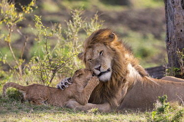 KEN10690AW Kenya, Maasai Mara National Reserve, Maasailand, Narok County, Musiara Marsh. A male lion being greeted by a young cub early in the morning at Musiara Marsh