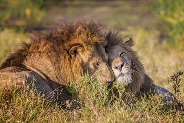 KEN10697AW Kenya, Maasai Mara National Reserve, Maasailand, Narok County, Musiara Marsh. Male lions greeting early in the morning at Musiara Marsh