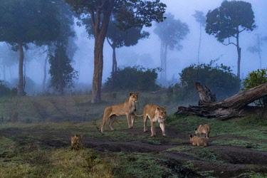 KEN10702AW Kenya, Maasai Mara National Reserve, Maasailand, Narok County, Musiara Marsh. A lioness moves playfully towards her inciting them to play.