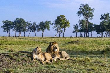 KEN10704AW Kenya, Maasai Mara National Reserve, Maasailand, Narok County, Musiara Marsh. A lion and lioness resting between bouts of mating. Early morning Musiara Marsh