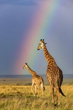 KEN10727AW Kenya, Maasai Mara National Game Reserve. Masai giraffe walking across the savanna as a rain storm gathers in the late afternoon illuminated by a rainbow. Male following a female.