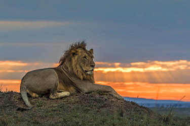 KEN10729AW Kenya, Maasai Mara National Game Reserve. A male lion stares out across the savanna from his perch atop a termite mound at sunset.