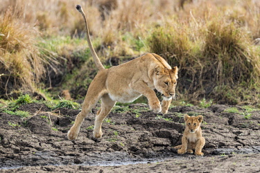 KEN10757AW Kenya, Narok County, Maasai Mara National Reserve, Musiara Marsh. A lioness jumps a gully watched by a three to four month old cub early in the morning.