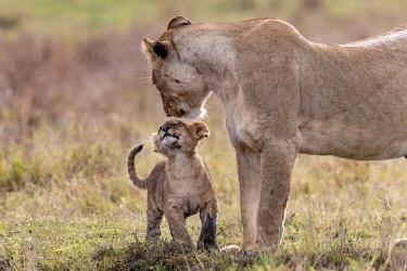 KEN10758AW Kenya, Narok County, Maasai Mara National Reserve, Musiara Marsh. A young cub greeting a lioness early in the morning