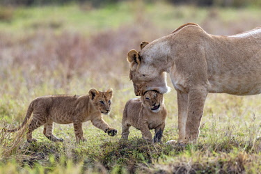 KEN10759AW Kenya, Narok County, Maasai Mara National Reserve, Musiara Marsh. A lioness greets her young cubs early in the morning, and attempts to pick one up but it is too big