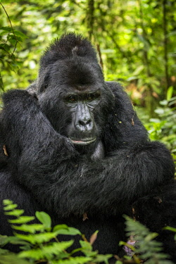 UGA1554AW Uganda; Bwindi Impentrable National Park. Silverback male mountain gorilla resting in the forest