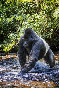 UGA1555AW Uganda, Bwindi Impenetrable National Park. Silverback male mountain gorilla wading across a shallow steam among the rainforest.