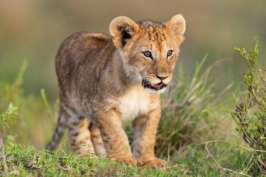 Kenya, Maasai Mara National Reserve, Maasailand, Narok County, Musiara Marsh. A four-month-old cub looking for a playmate among its pride early in the morning in Musiara Marsh.
