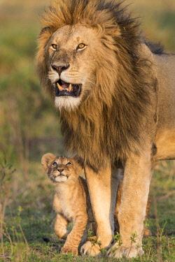 KEN10791AW Kenya, Maasai Mara National Reserve, Maasailand, Narok County, Musiara Marsh. A male lion being greeted by a young cub early in the morning at Musiara Marsh