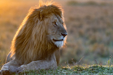 KEN10807AW Kenya, Maasai Mara National Reserve, Maasailand, Narok County, Musiara Marsh. A male lion resting on a termite mound at sunrise. Early morning Musiara Marsh