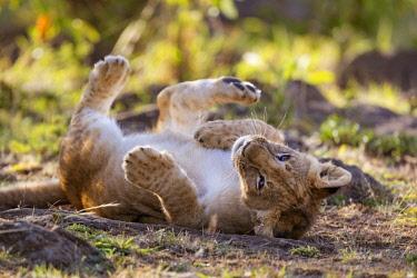 KEN10954AW Kenya, Maasai Mara National Reserve. Young lion cub relaxing in the sun