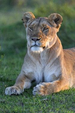 KEN10820AW Kenya, Maasai Mara National Reserve, Maasailand, Narok County, Musiara Marsh. A lioness   watches for prey early in the morning in Musiara Marsh.