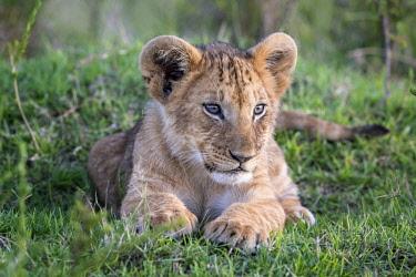 KEN10829AW Kenya, Maasai Mara National Reserve, Maasailand, Narok County, Musiara Marsh.  A four-month-old cub resting early in the morning in Musiara Marsh.