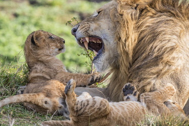 KEN10845AW Kenya, Maasai Mara National Reserve, Maasailand, Narok County, Musiara Marsh. A male lion showing off his canines in a low intensity threat to young cubs that have come to greet him early in the morni...