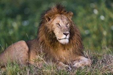 KEN10850AW Kenya, Maasai Mara National Reserve, Maasailand, Narok County, Musiara Marsh. A male lion resting early morning, Musiara Marsh