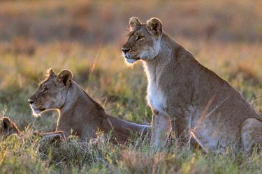 KEN10851AW Kenya, Maasai Mara National Reserve, Maasailand, Narok County, Musiara Marsh. Lionessess stare alertly towards prey as their cubs play at sunrise.