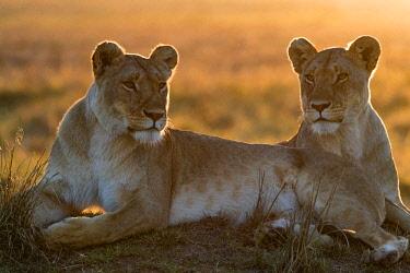 KEN10852AW Kenya, Maasai Mara National Reserve, Maasailand, Narok County, Musiara Marsh. Lionesses resting on termite mound in Musiara Marsh at dawn.