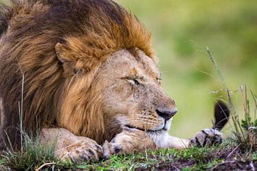 KEN10862AW Kenya, Maasai Mara National Reserve, Maasailand, Narok County, Musiara Marsh. A male lion resting