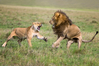 KEN10929AW Kenya, Maasai Mara National Game Reserve. Lion and lioness just finishing mating and showing aggression and submission