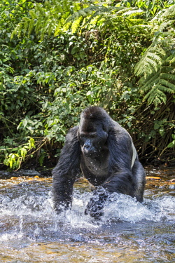 UGA1528AW Uganda; Bwindi Impenetrable National Park. A silverback male mountain gorilla crosses a stream. Gorillas live in rain forest and will come to drink at rivers and streams at times.