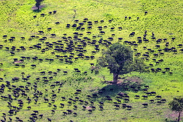 UGA1550AW Uganda, Kidepo Valley National Park. A huge herd of African buffalo - herds of 2,000 individuals are found here - feeds on lush vegeataion after rain.