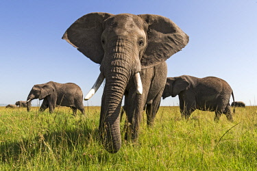 KEN10904AW Kenya, Maasai Mara National Game Reserve, Musiara Marsh. Bull elephant with breeding herd feasting on long red oat grass during the rainsy season.