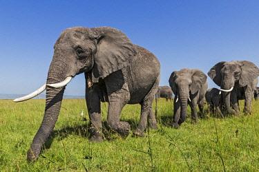 KEN10905AW Kenya, Maasai Mara National Game Reserve, Musiara Marsh. Elephant breeding herd feasting on long red oat grass during the rainsy season.