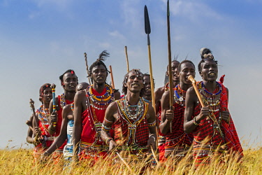 KEN10897AW Kenya, Maasai Mara, Aitong; William ole Pere's dancers. Maasai men walking through long red oat grass at the end of the rainy season.