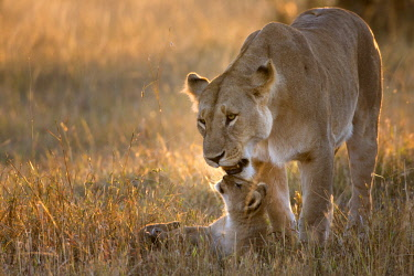 KEN10887AW Kenya, Maasai Mara National Game Reserve. Lioness playing with three month old cub at sunrise.