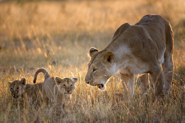 KEN10888AW Kenya, Maasai Mara National Game Reserve. Lioness greeting and playing with three month old cubs at sunrise.