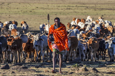 KEN10873AW Kenya, Maasai Mara, Masailand. A Masai herdsman moving with his cattle in the early morning having spent the night illegally grazing livestock inside the Reserve.