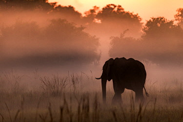 BOT5378AW Botswana, Okavango Delta, Duba Plains. An elephant wanders though the grasslands at dawn.