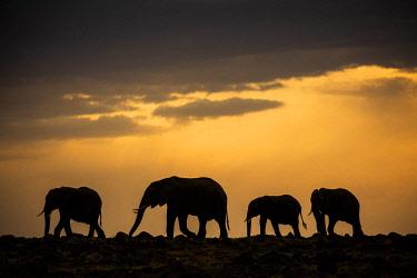 KEN11021AW Kenya, Maasai Mara National Game Reserve. Elephant family herd moving across the savanna at dusk.