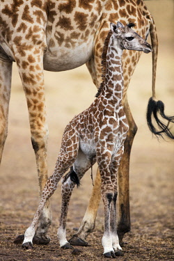 KEN11013AW Kenya, Maasai Mara National Game Reserve, Masailand. Maasai giraffe and young calf