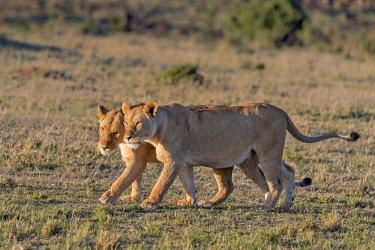 KEN10959AW Kenya, Narok County, Maasai Mara National Reserve. Lionesses greeting.
