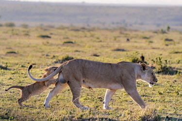 KEN10964AW Kenya, Narok County, Maasai Mara National Reserve. A lioness playing with one of her three cubs