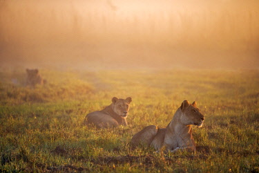 BOT5404AW Botswana, Okavango Delta, Duba Plains. Lions resting at dawn as the sun rises watching for prey. Duba is famous for the interactions between lions and buffalo.